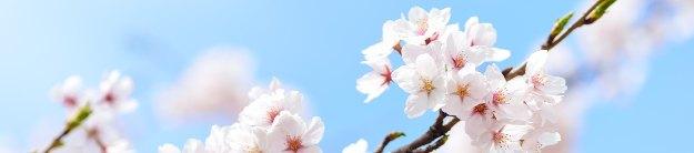 Japan spring sakura